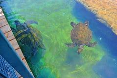 Sea turtle in the aquarium of Eilat. Israel royalty free stock images