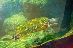 Sea turtle in the aquarium of Eilat. Israel royalty free stock image