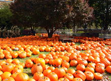 Sea of  Autumn Pumpkins Royalty Free Stock Images