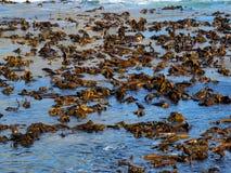 Sea bamboo (kelp) Royalty Free Stock Image