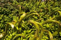 Sea of Bananas. Newly harvested bananas in Tagaytay City, philiippines Stock Photos