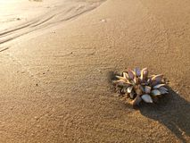 Sea barnacle on the sand that impacted the light in gold stock image