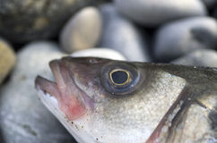 Sea bass. Close up of a sea bass on a beach royalty free stock image