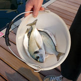 Sea bass. Two little sea bass in a bucket royalty free stock photography