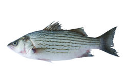 Sea bass. Striped sea bass isolated on white Stock Photography