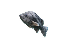 Sea Bass Against White Royalty Free Stock Image