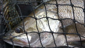 Sea Bass Caught stock video footage