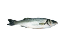 Sea-Bass (Dicentrarchus Labrax) Стоковое Фото