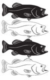 Sea bass Royalty Free Stock Photography