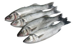 Sea bass fish. Four bass fish in a row isolated Stock Images