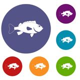 Sea bass fish icons set. In flat circle red, blue and green color for web Stock Images