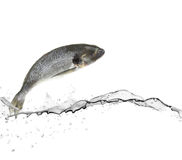Sea bass fish. Jumping from water Royalty Free Stock Photography