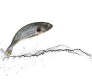 Sea bass fish Royalty Free Stock Photography