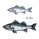 Sea bass fish  sketch for seafood design. Sea bass fish sketch of marine animal with sharp fin and gray scales with dark spots. Saltwater predatory fish  icon Stock Images
