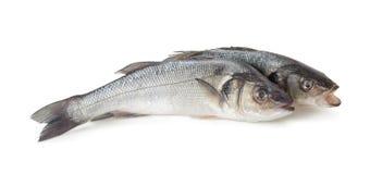 Sea bass fish Stock Image