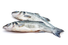 Sea bass fish Stock Image