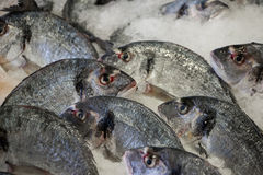 Sea bass fishes on ice. Fresh sea bass on ice in the greek fish shop lined up for sale. Sea bass fishes on ice. Horizontal. Daylight Stock Images