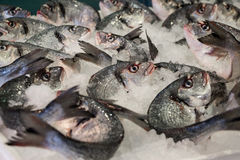 Sea bass fishes on ice. Stock Photo