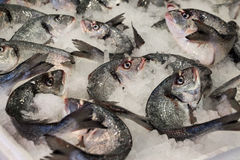 Sea bass fishes on ice. Stock Photography