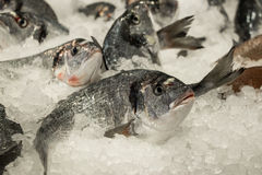 Sea bass fishes on ice. Fresh sea bass on ice in the greek fish shop lined up for sale. Sea bass fishes on ice. Horizontal. Daylight. Close Stock Image