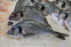 Sea bass fishes on ice. Royalty Free Stock Photography