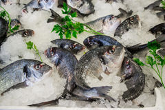 Sea bass fishes on ice and parsley. Fresh sea bass on ice in the greek fish shop lined up for sale refreshed parsley. Sea bass fishes on ice and parsley Royalty Free Stock Images