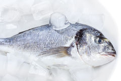 Sea bass on ice Royalty Free Stock Photography