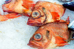 Sea bass on ice Stock Photography