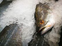 Sea Bass on Ice in the Market,Raw Seabasses on Ice in the Market,Sea bass in market with ice on ice on the market. ice cooled. Hakes on a fish royalty free stock image