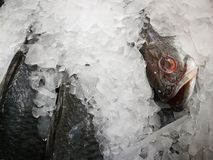Sea Bass on Ice in the Market,Raw Seabasses on Ice in the Market. Sea bass in market with ice on ice on the market. ice cooled hakes on a fish royalty free stock photo