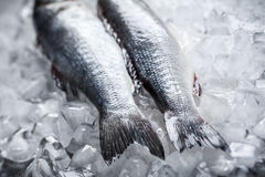 Sea bass on ice. Whole Sea bass on ice. Soft focus royalty free stock image
