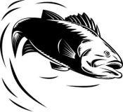 Sea Bass jumping Stock Image