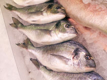 Sea Bass Lined Up Stock Images