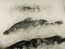 Sea bass in market with ice Stock Image