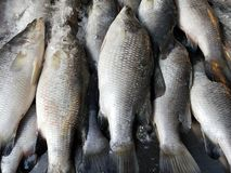Sea bass, Lates calcarifer, is a species of sea bass that can be adapted to freshwater. Sea bass & x28;Scientific name: Lates calcarifer& x29; is a species of stock photo