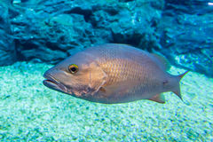 Sea bass under water Royalty Free Stock Photo