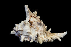 Sea beautiful unusual shell on a black background Royalty Free Stock Images