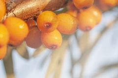 Sea berry on branch. For background Royalty Free Stock Photos