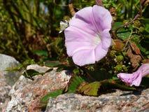 Sea Bindweed Calystegia soldanella and Ripening Blackberries o. Blooming Sea Bindweed Calystegia soldanella and blackberries ripening in a hedgerow on the Isle Stock Images