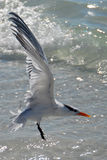 Sea bird. Flying over the sea Royalty Free Stock Image