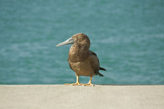 Sea bird. Young brown booby bird standing on a dock Royalty Free Stock Image