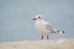 Sea bird. Portrait of white gull with blue sea on background Royalty Free Stock Images