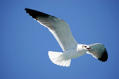 Sea bird. Flying with clean blue sky Royalty Free Stock Images