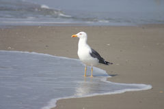 Sea Bird Stock Image