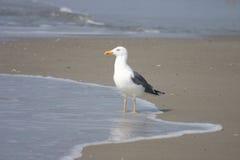 Sea Bird. Bird standing in the waves stock image