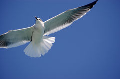 Sea bird. Flying with clean blue sky Stock Photo