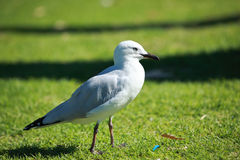 Sea Bird. Walk on green grass by Black Swan Lake,Perth, Australia Stock Photo