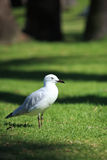 Sea Bird. Stand on green grass by Black Swan Lake,Perth, Australia Stock Images