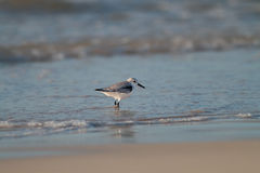 Sea Bird. A sanderling on a sandy beach royalty free stock image