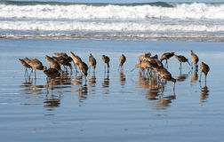 Sea Bird. Flock Of Long Beak Birds Feeding On Wet Beach Surf Stock Images